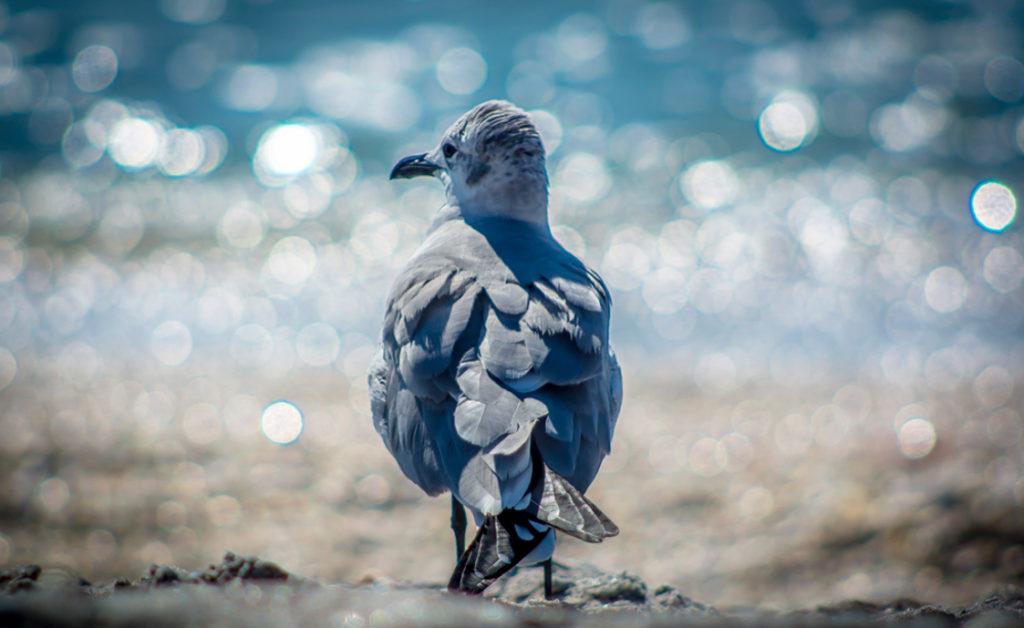 twinkle gull